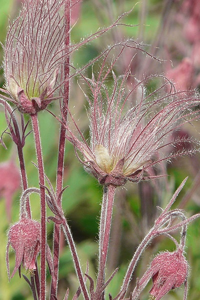 I finally get to buy these again for the garden at my new house. Prairie Smoke, one of the earliest plants to come up in the garden and one of the coolest with its pink, whisker-y heads.