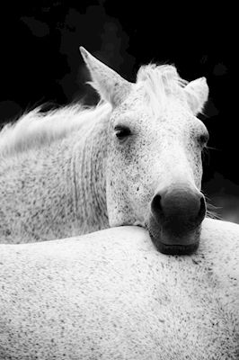 Mona Gelebo - Pals. Black and white photograph of two white speckled horses cuddling.