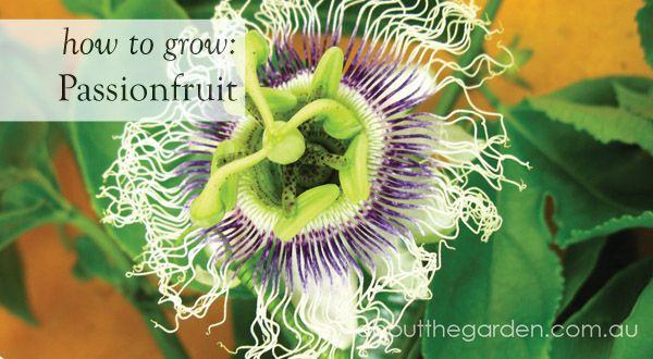 How to grow: Passionfruit during the Australian summer    #fruit #flower #garden #aboutthegarden