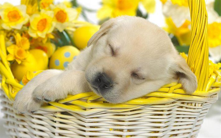 sleeping labrador, golden retriever, 4k, small labrador, puppy, cute puppies, pets, labradors, dogs, retriever