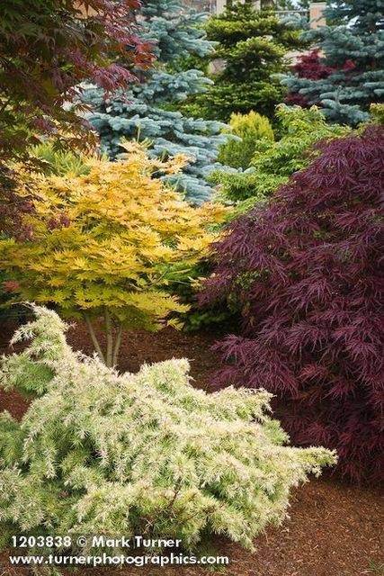 1203838 Japanese Maples among dwarf conifers [Acer palmatum cvs.]. Jim Swift, Bellingham, WA. © Mark Turner