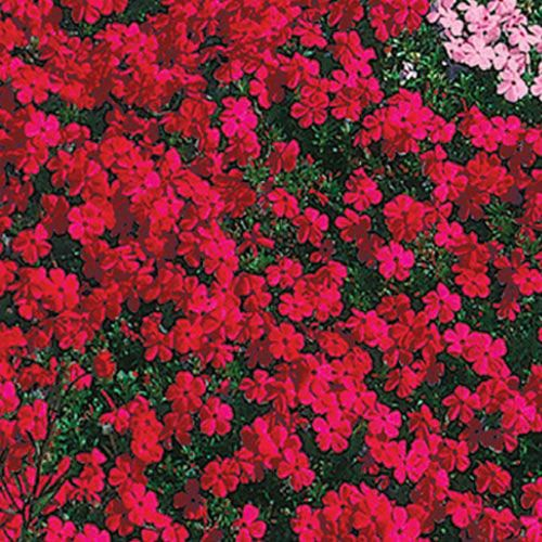 Red Carpet Phlox Landscapes Creeping Phlox Ground