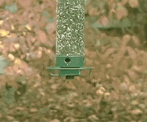 Squirrel vs. Anti-squirrel bird feeder