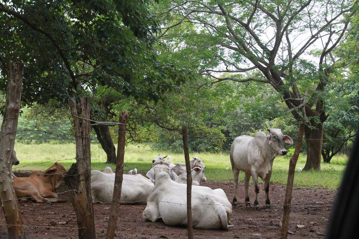Cute cows of Costa Rica