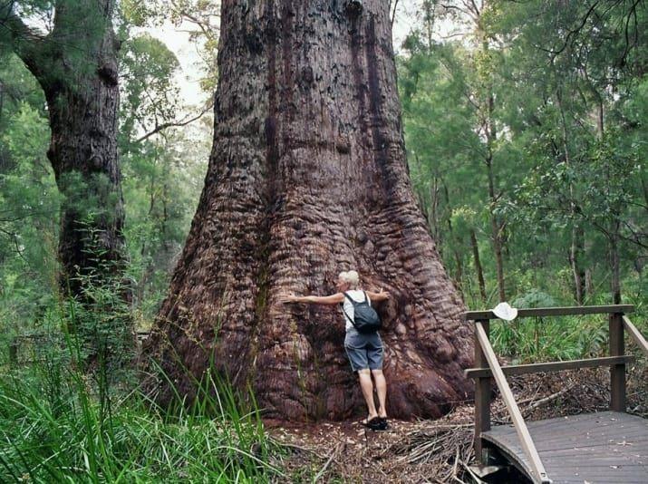 Údolie obrov Treetop Procházka, západnej Austrálie.