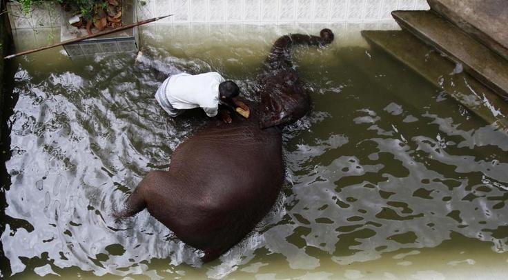 ELEPHANT BATH: A mahout washed an elephant in a pool at Gangaramaya Buddhist temple in Colombo, Sri Lanka, Monday. (Dinuka Liyanawatte/Reuters)