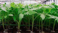 Рассаду помидоров поливают раствором йода для более быстрого роста (1 капля на три литра). После применения этого раствора рассада зацветёт быстрее, а плоды будут крупнее. Может йод защитить помидоры …