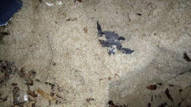 La costa di Sciacca ancora una voltaluogo scelto dalle tartarughe marine caretta caretta per la deposizione delle uova. Nella notte tra il 24 e il 25 agosto, da uno dei due nidi avvistati sul litorale siciliano sono nate oltre 50 Read More ...