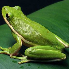 American Green Tree Frog care