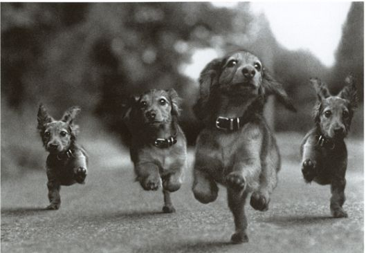 Dachshund Gang gallops. One day I, too, will have a galloping wiener brigade.