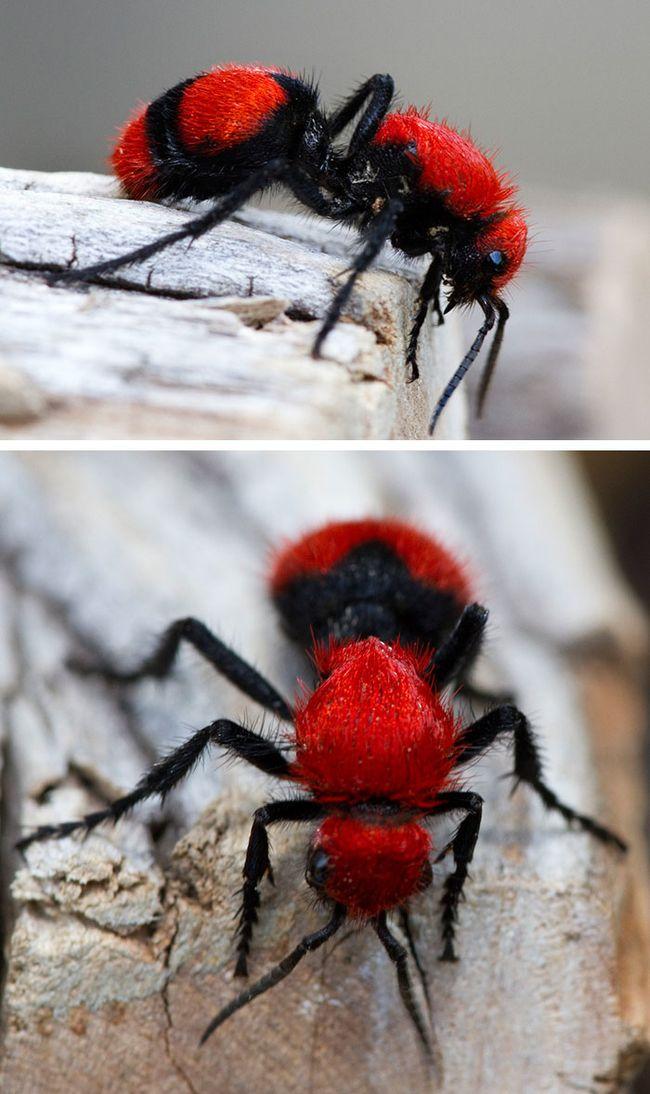 É toda de veludo! Este inseto é chamado como formiga de veludo vermelho, mas na verdade não é uma formiga, mas uma vespa que não tem asas.