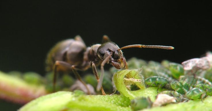 Cómo matar las hormigas cortadoras de hojas. Las hormigas cortadoras de hojas son originarias de América del Sur; sin embargo, es posible verlas en los Estados Unidos del sur (especialmente en Texas). Estos insectos cortan las hojas de las plantas y llevan la vegetación a sus nidos. Esto puede matar una planta y cuesta cientos o miles de dólares en daños. Por estos posibles daños es muy ...