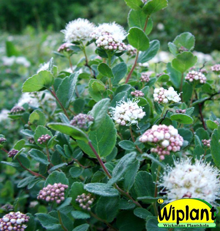 Spiraea beau. 'Lumikki', Dvärgbjörkspirea. FinE-sort. Små blad och vita blommor. Höjd: 0,3-0,5 m.