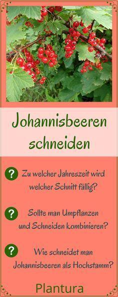 Johannisbeeren schneiden: Anleitung & Tipps vom Profi