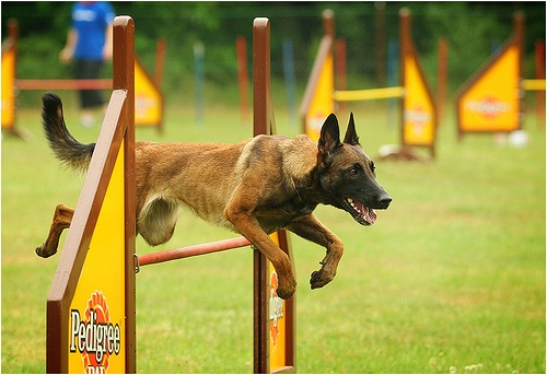 Can't decide whether or not to go Malinois or BC for agility...