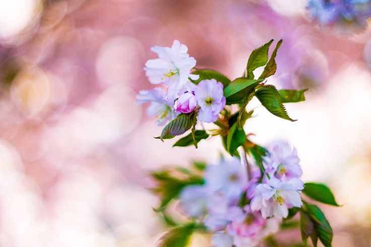 Soft Flowers - Pink scenery in the morning lights under the blossoming tree.