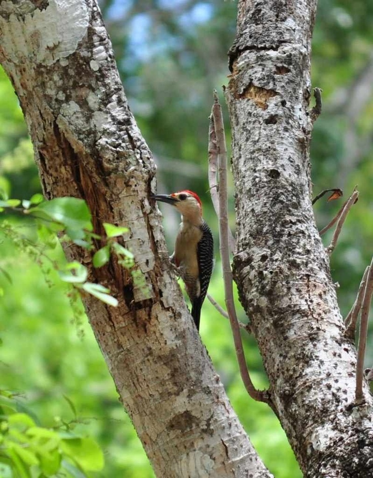 Woodpecker at Chichen Izta.