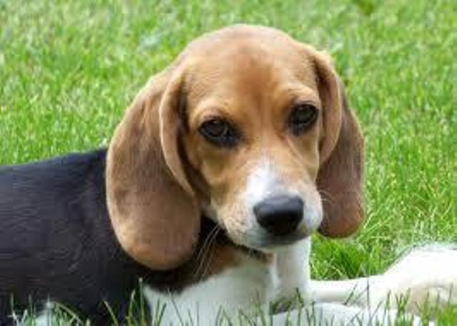 Sweet Face Beagle Baby