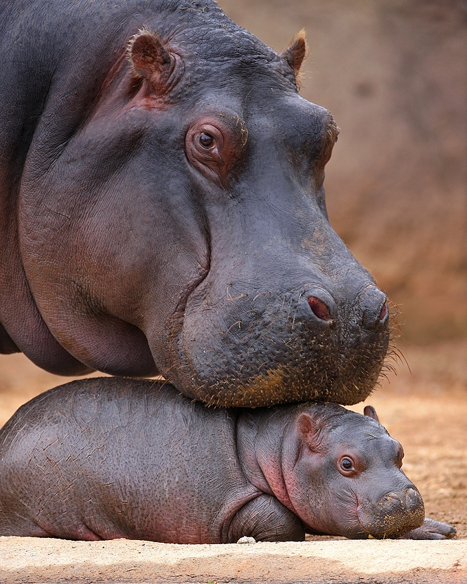 Our hippo is no longer a baby but we still think the pics at Werribee Open Range Zoo are super cute!