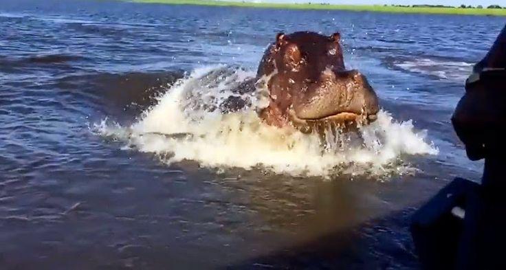 AnimalPlanet: Ippopotamo carica un motoscafo, il video!