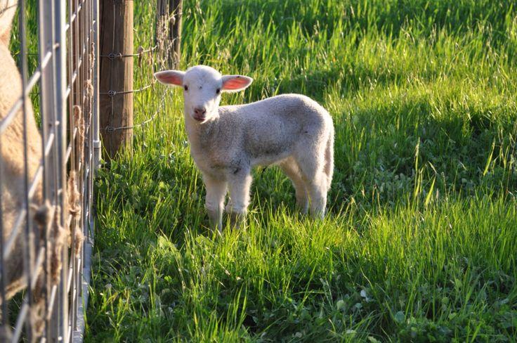 Wiltshire Horn lamb