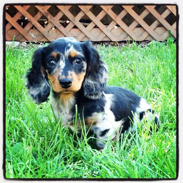 Black and tan dapple dachshund | Dogs! | Pinterest  Black and tan d...