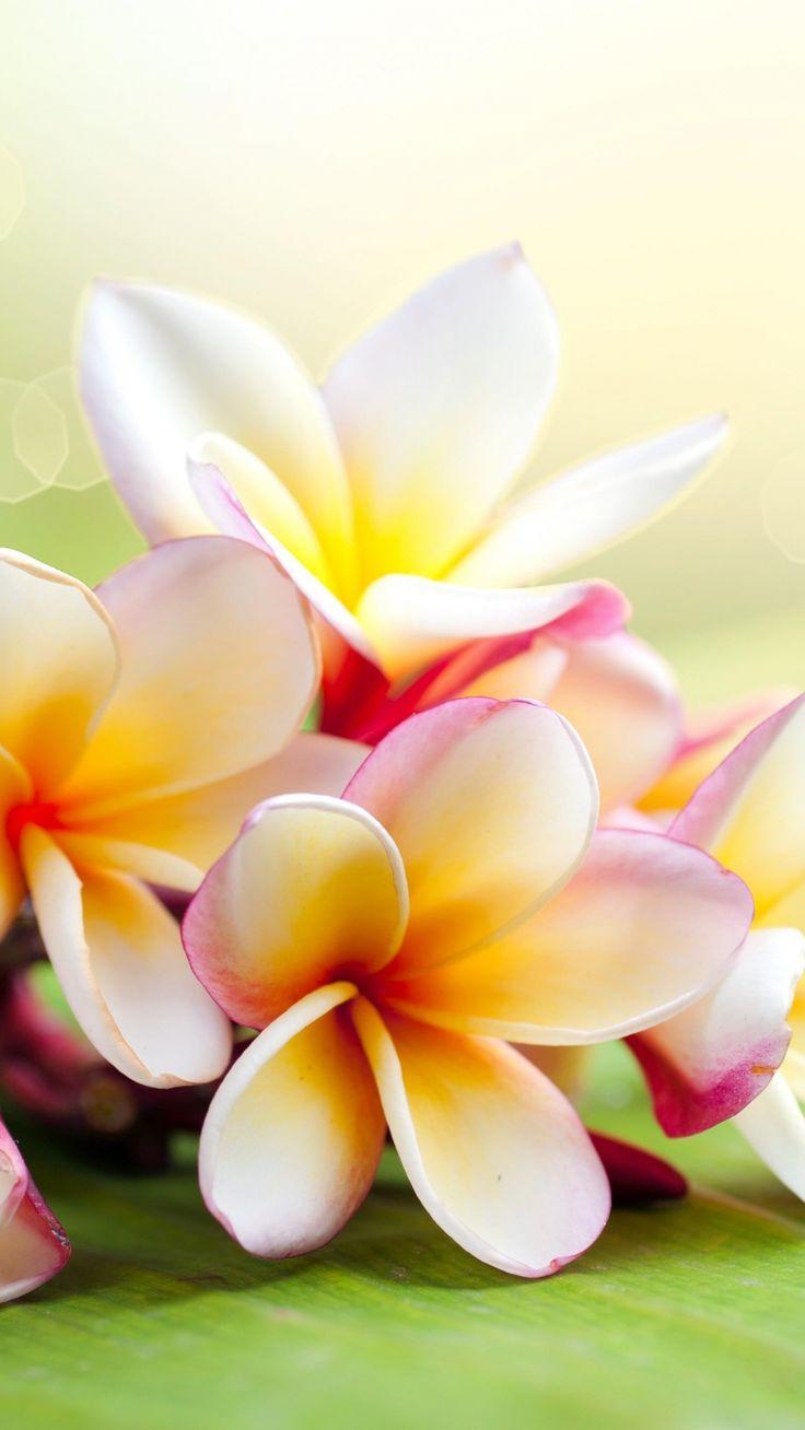 Hawaiian Flower Plumeria Fiori Idea Immagine