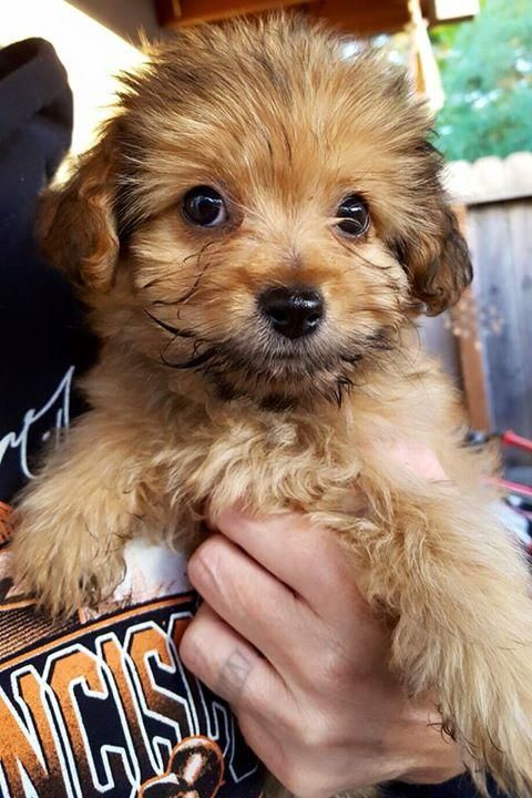 Meet Fluffy, a Petfinder adoptable Shih Tzu Dog   Santa Rosa, CA   Fluffy is a 14 week old shih tzu mix.She is about 4lbs and will be under 20lbs full grown.She loves...