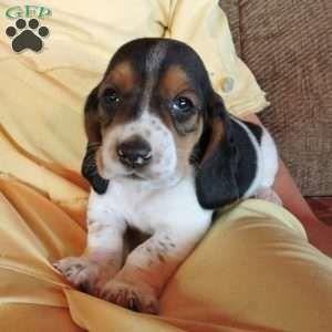 Basset Hound Puppy in Parkesburg, PA