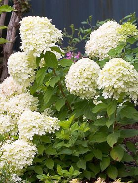 Hydrangea paniculata Little Lime Just as exquisite as Limelight but half the size.
