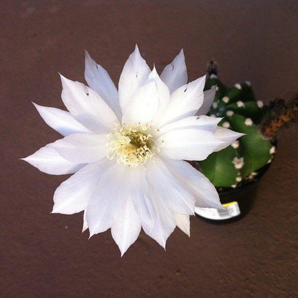 My echinopsis dominos cactus in full bloom! She is ... Echinopsis Dominos