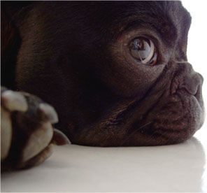 I love these beautiful, smart dogs. Frenchies rock! Love you Satchy-baby!