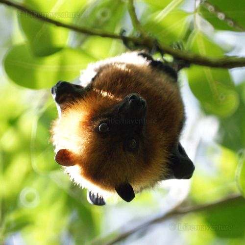 DSC08411 - ² - Seychelles, Moyenne : Roussette, chauve-souris frugivore / Flying fox, fruits eater bat by Libernaventure