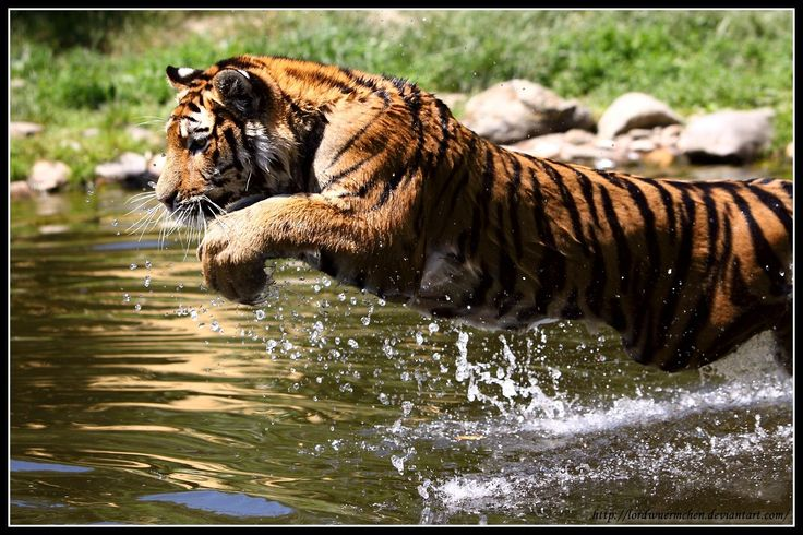 Pouncing Tiger | Felines | Pinterest | Tigers