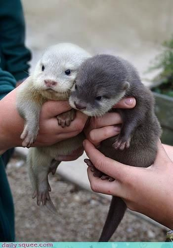 Baby sea and river otters.  The one baby animal that looks like a cartoon animal to me.  Beyond cute!!