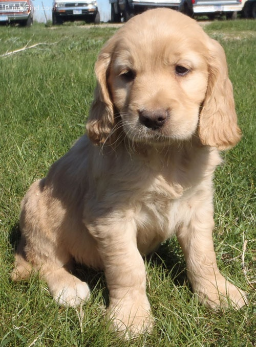 Golden Cocker Retriever. sooo cute!