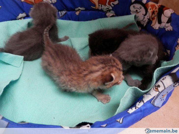 1000 id es sur le th me chatons tigr s gris sur pinterest chaton de smoking chatons et. Black Bedroom Furniture Sets. Home Design Ideas