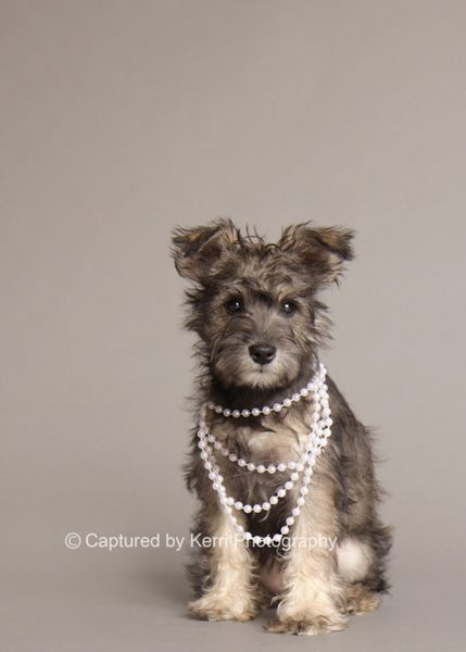 Kyah by Captured by Kerri Photography #Miniature #Schnauzer