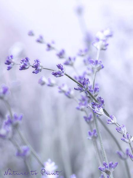 Zarter Lavendel, das duftende Multi-Talent aus dem Süden