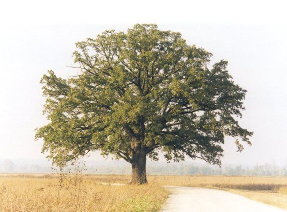 Burr Oak Tree in McBaine, MO - start in Rocheport, bike to the tree and back  (Near mile 170, you'll see the tree to the south, some 100 yards or so from the trail). In Rocheport, eat at Abilgails.