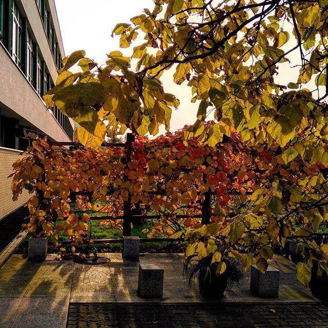 #budynek35 #jesień #żółtedrzewo #żółteliście #ogrodnictwo #zlotapolskajesien #złotapolskajesień #trocheslonca #trochęsłońca #WOBiAK #SGGW 🏬🌞🍁🍁🍁 #building35 #autumn #fall #jellowtree #yellowleaves #horticulture #goldenautumn #sun #WULS