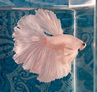 #46 Thai Import Fancy White Platinum Male Dumbo Ears Halfmoon Betta Live Fish