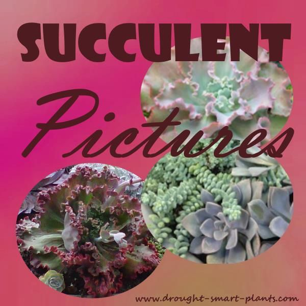 Succulent Pictures - buy photos and images of succulents http://www.drought-smart-plants.com/succulent-pictures.html?utm_content=buffer39eaa&utm_medium=social&utm_source=pinterest.com&utm_campaign=buffer#axzz3cICdmLSg