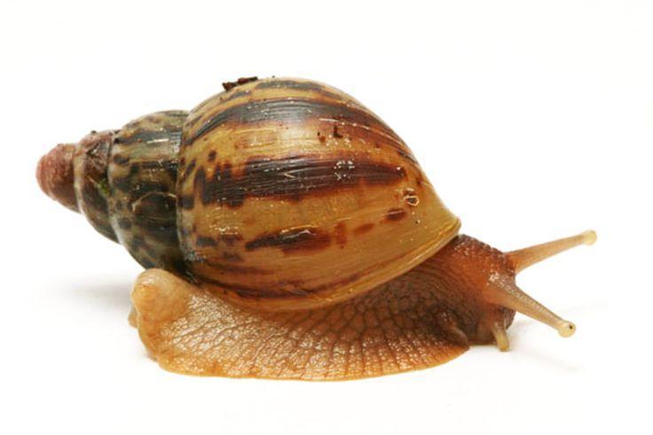 Lissachatina albopicta typ 3