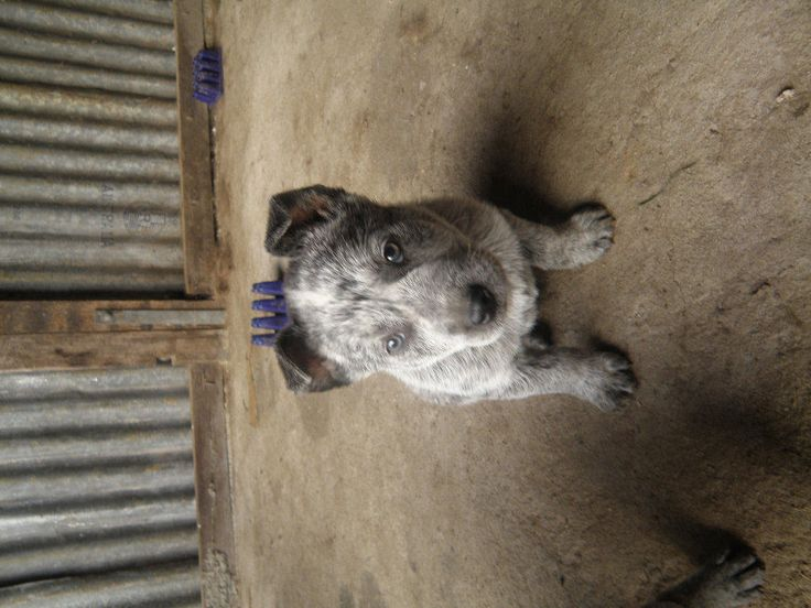 Stumpy Tail Australian Cattle Dog | FOR SALE: Australian Stumpy Tail Cattle Dog Puppies