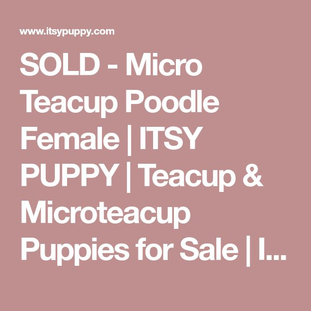 SOLD - Micro Teacup Poodle Female | ITSY PUPPY | Teacup & Microteacup Puppies for Sale | ITSY PUPPYITSY PUPPY | Teacup & Microteacup Puppies for Sale | ITSY PUPPY