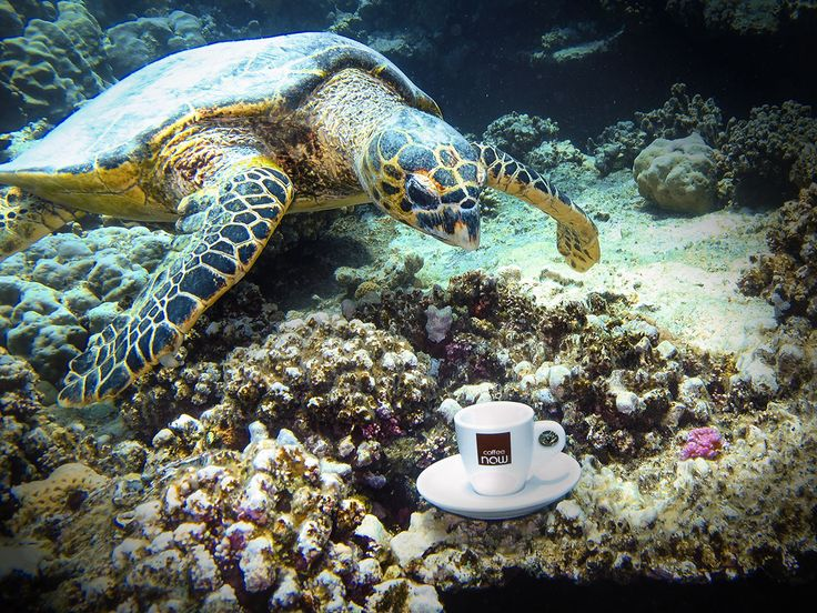Protože se blíží čas dovolených a budete vyrážet na různá exotická místa, tak buďte ve střehu. Nikdy nevíte, na co můžete narazit.  Jako například náš kolega. Takhle se potápí a najednou jeho pozornost upoutá želva, jak si popíjí pod vodou kafe. Připluje blíž a vidí, že je to gurmánka, protože pije naše kafe! Bohužel nezjistil jaký druh. Než k ní doplaval, měla ho vypité, ale každopádně to prý bylo espresso…