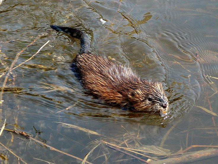 "The muskrat is the largest species of burrowing vole, and is an expert swimmer. Its hairless tail acts as a rudder, while large back feet with webs between their toes and a row of stiff hairs along one edge create a ""swimming fringe."" The muskrat can also dive up to 330 feet down, and stay there for up to 20 minutes!"