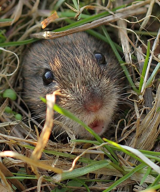 vole in the grass ... photo by bojangles / they are so danged cute, but oh so destructive!