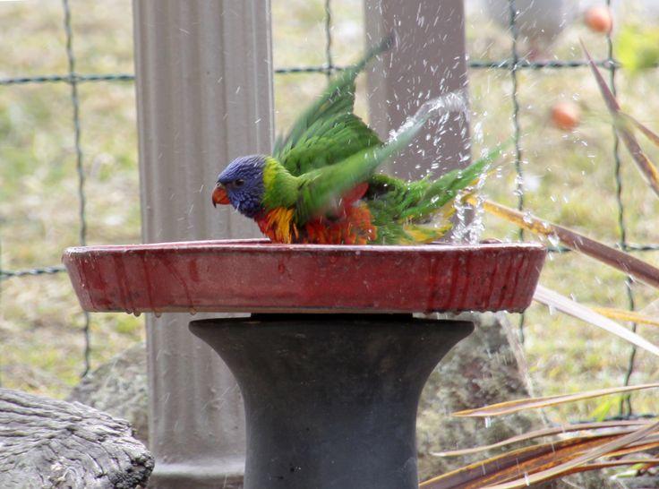young rainbow lorikeet loves a bath